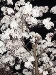 上野夜桜.jpg