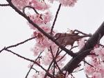 桜雀.JPG